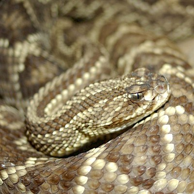 Tropical Rattlesnake - Copyrighted free use, https://commons.wikimedia.org/w/index.php?curid=29692 <a href=></a>