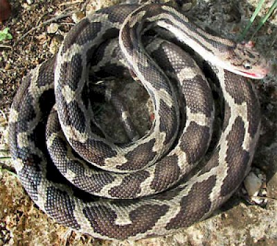 Red Blotched Ratsnake <a href=></a>