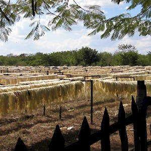 The henequen fibers were carted to the solarium, a field filled with a series of racks where they were dried. The fibers were then twisted into twine and shipped mostly to the United States to be made into final products. <a href=></a>