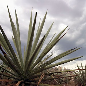 Most haciendas in Yucatan eventually came to produce rope fibers (sisal) from the henequen cactus, which is related to the maguey, where we get tequila. <a href=></a>