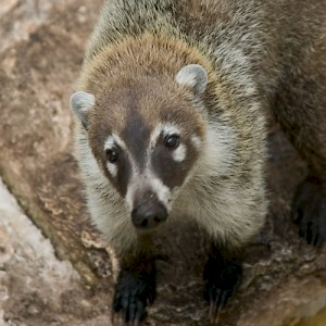 A ring-tailed Coatimundi, the raccoon of Latin America. <a href=></a>