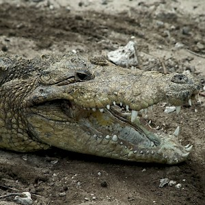 Yes, there are still crocodiles in the marshes and coastal rivers of Yucatan, but most are in captivity. <a href=></a>