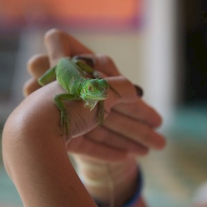 A common Mexican green iguana. Many are kept as low-maintenance pets. <a href=></a>