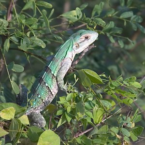 These leaping green lizards can be seen hopping from bush to bush in search of food. <a href=></a>