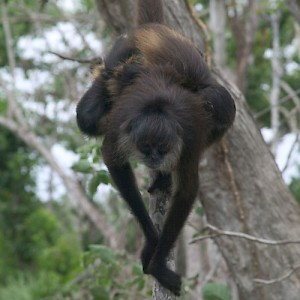The Yucatan has spider monkeys like the one shown here. Chiapas, to the west, has the larger and much louder howler monkey. We'll take the spider monkey. <a href=></a>