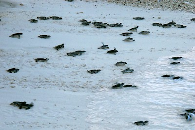 New turtle hatchlings entering the Caribbean Sea on the beach at Isla Mujeres <a href=></a>