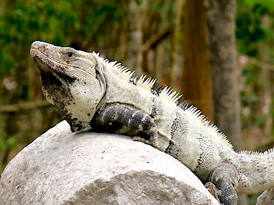 A large, black Spiney-tailed iguana basking in the sun <a href=></a>