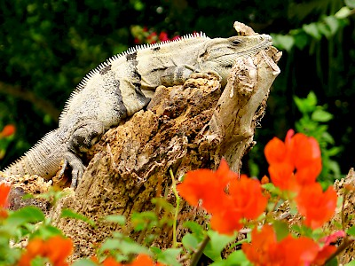 Just another lazy day in Paradise for this iguana <a href=></a>