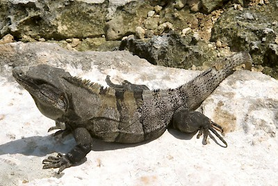 Black spiney-tailed iguana (Ctenosaura similis) <a href=></a>