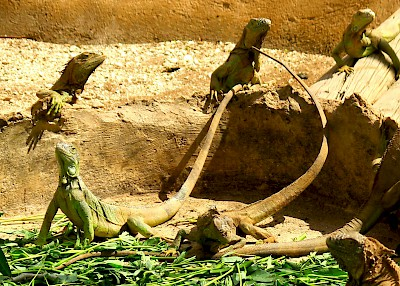 Female green iguanas in the Vallazoo display enclosure. <a href=></a>