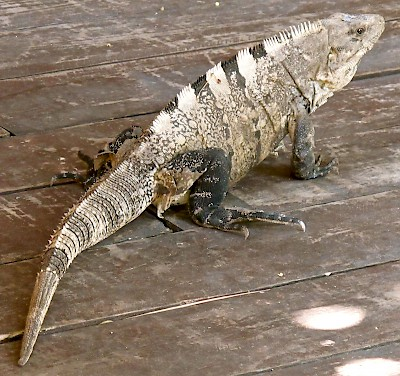 Iguana in the Maya taxonomy were crawlers. <a href=></a>
