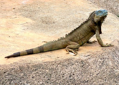 Photo illustrating the substantial tail of a green iguana. <a href=></a>