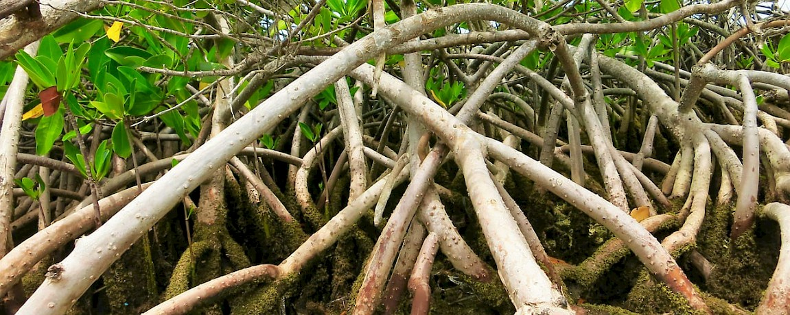 Yucatan News: Mangrove Restoration Efforts