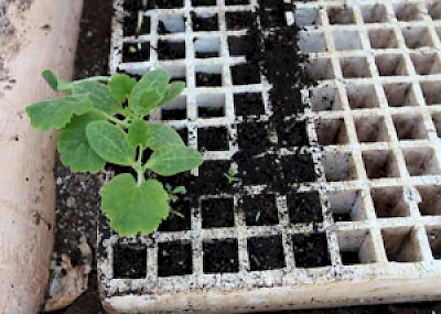 seedlings <a href=></a>