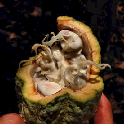 Open cacao pod in Yucatan <a href=></a>